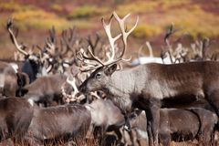 En flock av renen i nedgångslut upp med härliga hjortar i förgrunden med stora horn kamchatka Ryssland royaltyfri bild