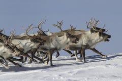 En flock av renen som kör på snö-täckt solig vinter för tundra Arkivfoton