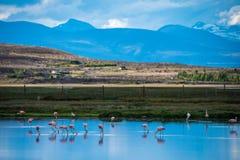 En flock av rosa flamingo dricker vatten i sjön Shevelev Royaltyfri Bild