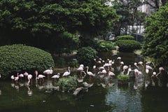 En flock av rosa flamingo i en härlig naturvårdsområde På bakgrunden av gröna träd och buskar Royaltyfri Foto