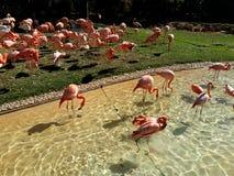 En flock av rosa flamingo i vatten och gräs Arkivfoto
