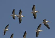 En flock av rosa pelikan som soaring i thesky. Royaltyfri Bild