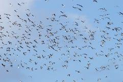 En flock av seagulls Royaltyfria Foton