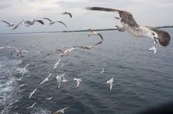 En flock av seagulls arkivbild