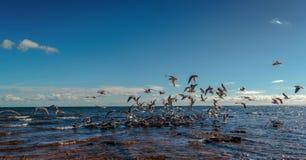 En flock av seagulls i Beaumaris royaltyfri bild