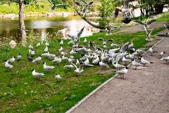 En flock av seagulls i parkerar fotografering för bildbyråer