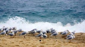 En flock av Seagulls på den stormiga Bronte stranden, Sydney, Australien arkivbilder