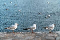 En flock av seagulls på havet royaltyfria bilder