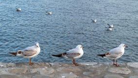 En flock av seagulls på havet arkivbild