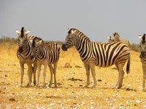 En flock av sebror på savannahen Arkivfoton