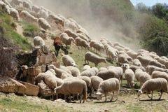 En flock av sheeps i Segovia, Spanien royaltyfria bilder