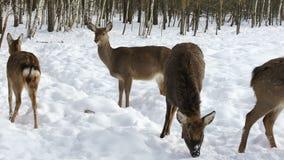 En flock av Sika hjortar stock video