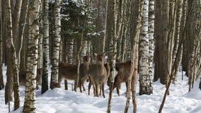En flock av Sika hjortar i skogen lager videofilmer