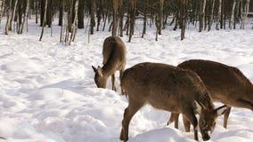 En flock av Sika hjortar i vinterskogen stock video