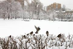 En flock av sparvar på buskarna i vintern Arkivfoton