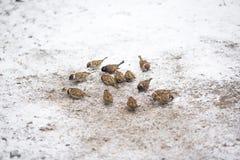En flock av sparvar som samlas runt om mat spridd på snön royaltyfria foton