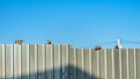 En flock av sparvar som sitter på ett metallstaket på solnedgången mot den blåa himlen royaltyfria bilder