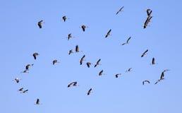En flock av storkar f royaltyfri fotografi
