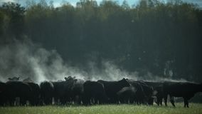 En flock av svarta Angus tjurar på en beta i ottan arkivfilmer