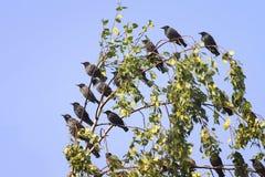 En flock av svarta stare Royaltyfri Foto