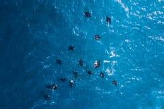 En flock av svarta stingrockor i havet Stora svarta strålar i havsvatten Royaltyfria Bilder