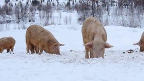 En flock av svin lager videofilmer