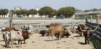 En flock av Texas Longhorn Cattle, Fort Worth kreatursinhägnader Arkivbild