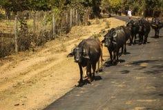 En flock av tjurar som går ner vägen, Khajuraho, Indien Royaltyfria Bilder