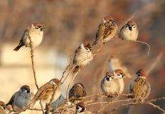 En flock av trädsparven sitter på busken royaltyfri fotografi