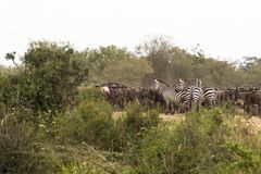En flock av ungulates ackumulerar framme av korsningen kenya mara flod arkivfoto