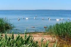 En flock av vattenfågeln, svanar på sjön i sommar fotografering för bildbyråer