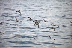 En flock av vattenfåglar i flykten, Paracas, Peru Arkivbilder