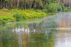 En flock av vit inhemsk gäss som badar i sjön på gryning Den tämjde gåsen är ett höns som används för kött, ägg, fjädrar Arkivbild