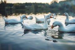 En flock av vit inhemsk gäss som simmar i sjön i afton Den tämjde gråa gåsen är höns som används för kött, ägg, befjädrar ner Arkivbilder