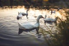 En flock av vit inhemsk gäss som simmar i sjön i afton Den tämjde gråa gåsen är höns som används för kött, ägg, befjädrar ner Fotografering för Bildbyråer