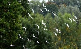 En flock av vita duvor mot bakgrunden av skogen Royaltyfria Bilder