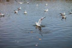 En flock av vita stora seagulls i en höst parkerar fiskar i sjön Royaltyfri Foto