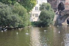 En flock av vita svanar på den Vltava floden i den Prague Tjeckien royaltyfria foton