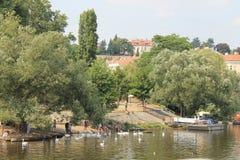 En flock av vita svanar på den Vltava floden i den Prague Tjeckien arkivfoto