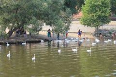 En flock av vita svanar på den Vltava floden i den Prague Tjeckien arkivbilder