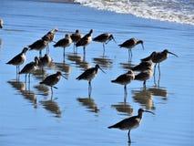 En flock av Whimbrels royaltyfri bild