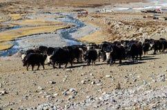 En flock av yaks i bergen Arkivbilder