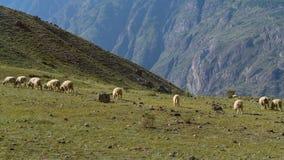En flockflock av mångfärgade får i bergen Altai Royaltyfri Fotografi
