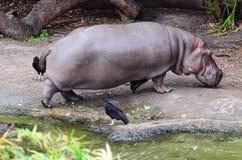 En flodflodhäst (flodhästamphibius) är ut ur vatten Royaltyfria Foton