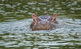 En flodhäst i en nära sned boll sköt att se skrämd fotografering för bildbyråer