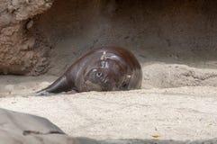 En flodhäst som vilar på Sanen Diego Zoo i Kalifornien royaltyfri foto