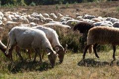 En flok av Drenthen Heath Sheep som betar royaltyfri bild