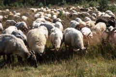En flok av Drenthen Heath Sheep som betar royaltyfri foto