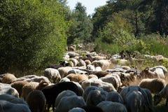 En flok av Drenthen Heath Sheep som betar royaltyfria foton