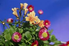 En flor del foco con el fondo azul marino del cielo en la transición Fotos de archivo libres de regalías